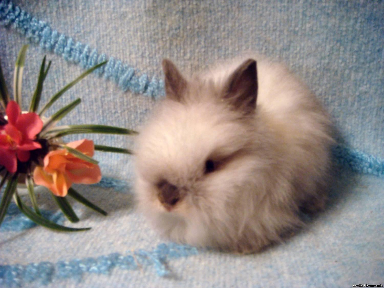кролики с сиамским окрасом фото